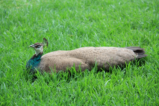 female peacock